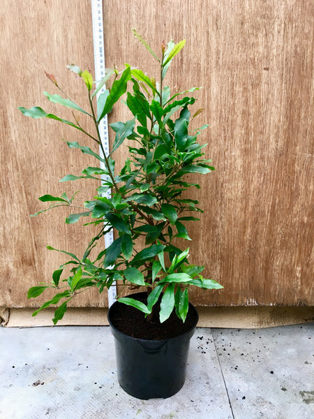 Miracle Berry 50-60cm bush with flowers coming