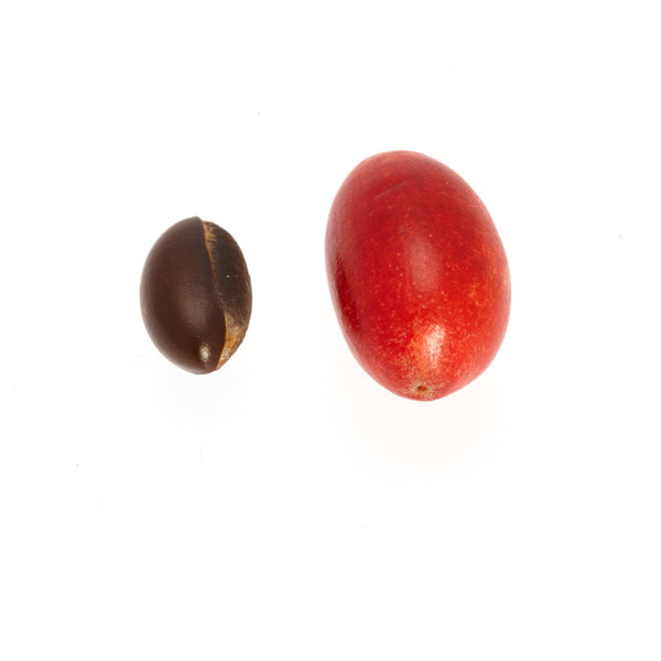 Miracle Berry fruit next to seed
