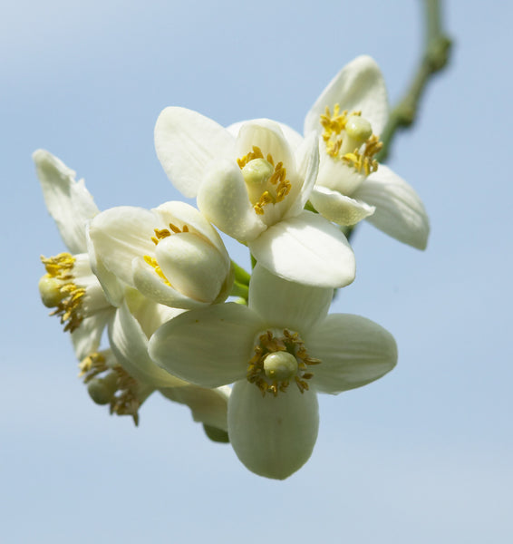 Oroblanco Flowers
