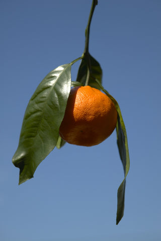 Owari Satsuma Fruit Hanging on a branch