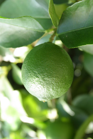 Tahiti Lime Fruit