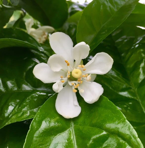 US 119 Citrus Hardy Hybrid Flower