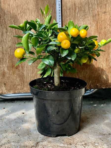 Calamondin Orange 30-35cm plant