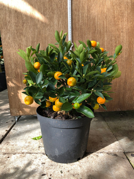 Calamondin Orange 40-50cm Bush