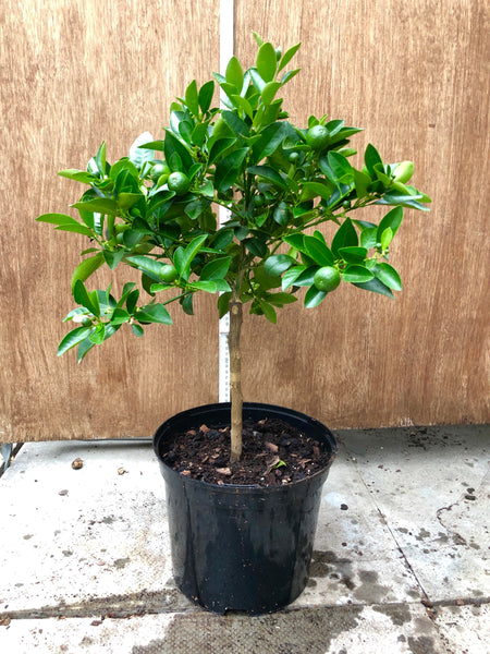 Calamondin Orange 50-60cm Shot Standard