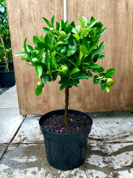 Calamondin Orange 70cm Short Standard