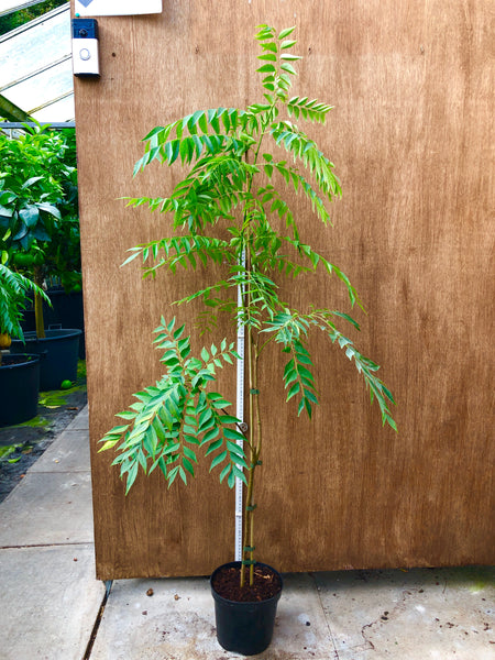 Specimen Curry Leaf Plant 130cm