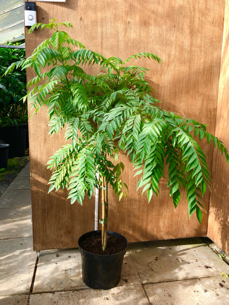 Large Specimen Curry Leaf Plant 130cm