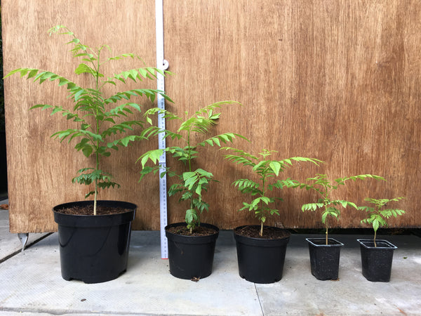 8-40cm group of Curry Leaf Plants