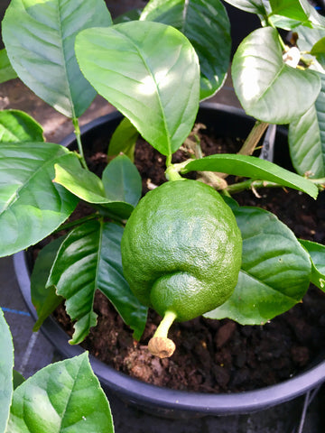 Imperial or Lipo Lemon Fruit