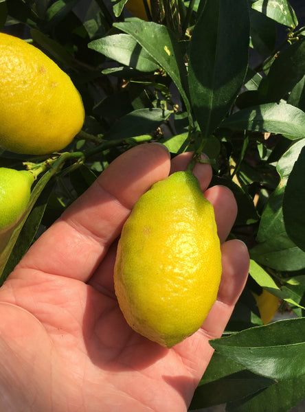 Lakeland Limequat Yellow Fruit in cupped hand