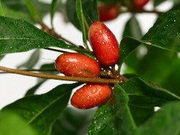 Miracle Berry fruit on a plant