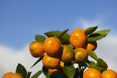 Miyagawa Satsuma Fruit at colourbreak