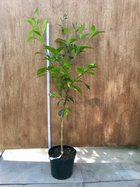 Otaheite Orange 90-100cm Standard