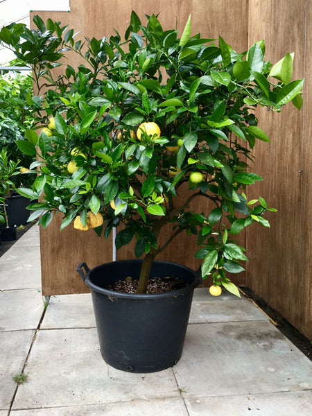 Pursha or Romana Lime 140cm Mature Tree