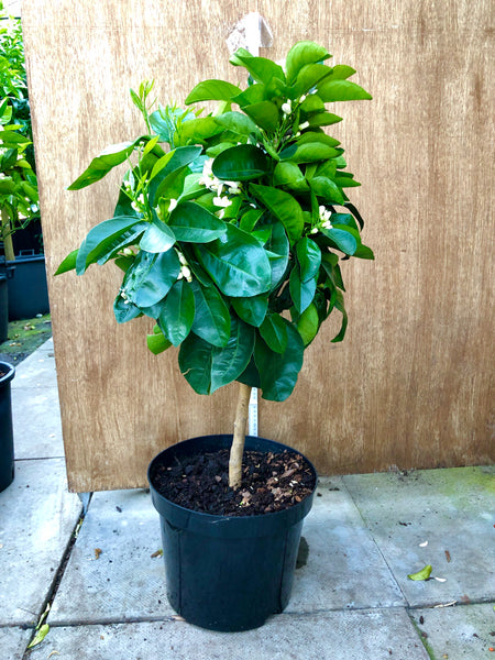 Valencia Orange 80cm Short standard