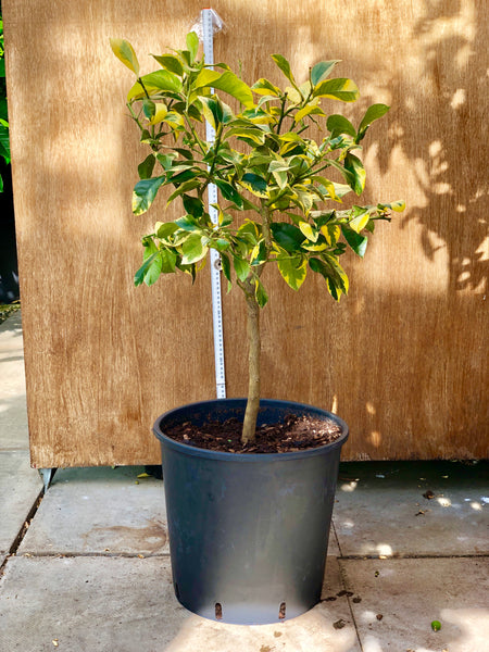 Eureka Variegated Lemon plant 85-90cm