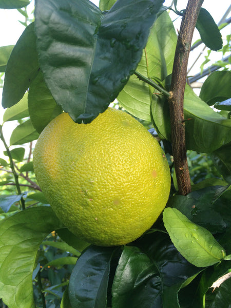 Venasca Segentrange grapefruit sized fruit on tree