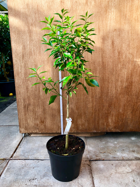 Willowleaf Mandarin 100cm tall