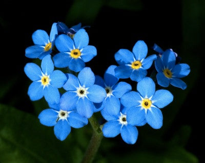 Actual Forget-Me-Not flowers.