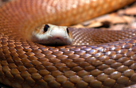 Snakes can be a major hazard in Australian workplaces
