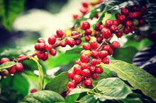 Load image into Gallery viewer, Uganda Cherry Robusta