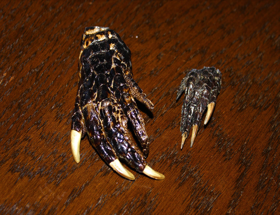 Alligator Claw