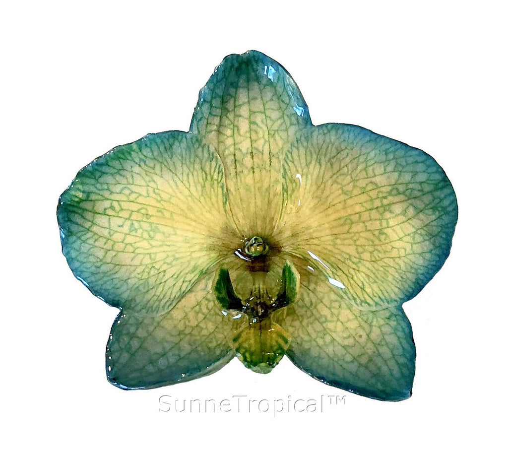 Phalaenopsis real orchid jewelry brooch (L) Green
