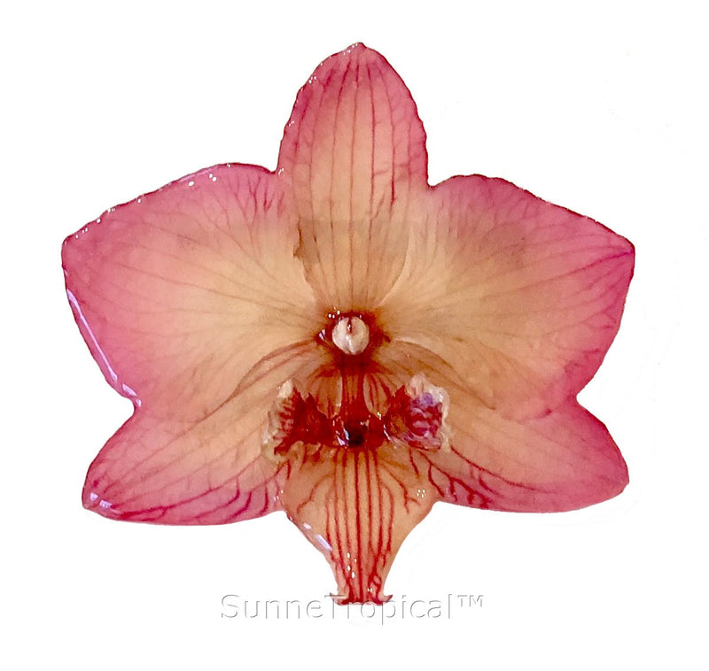 Phalaenopsis real orchid jewelry brooch (M) PINK