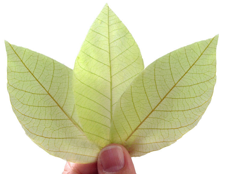 Biodegradable Eco Friendly Natural Real leaf soap unique gift soap ( Green Centella Asiatica 20 leafs )