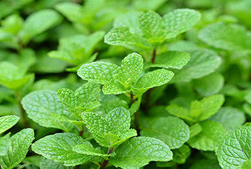 The Benefits of Natural Peppermint and Green Tea Extracts