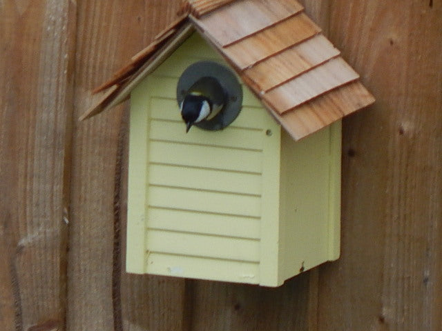 Great tit in nest box