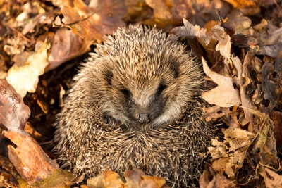Hibernating hedgehog