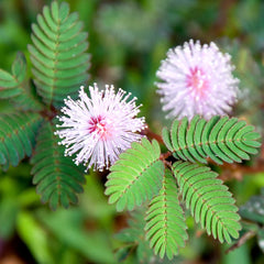 Mimosa Dancing Plant Seeds