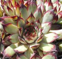 Sempervivum 'Cafe'