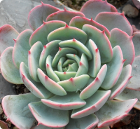 Echeveria secunda - SMG Succulents
