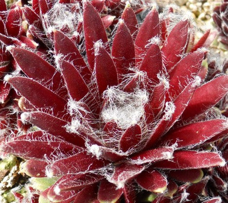 Sempervivum 'Abby'