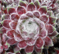 Sempervivum 'Agnes'