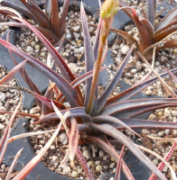 Aloe 'Reseda Rose' - SMG Succulents