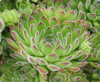 Sempervivum 'Apollonia'