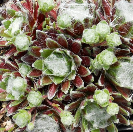 Sempervivum 'Bascour Silver'