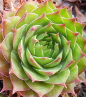 Sempervivum 'Britta'
