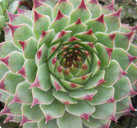 Sempervivum calcareum f/Mount Ventoux
