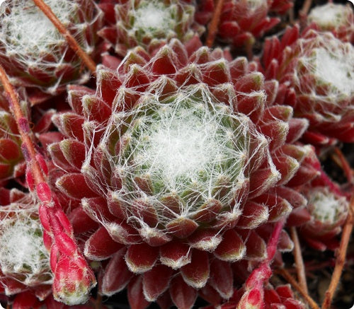 Sempervivum 'Candy Floss'