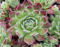 Sempervivum 'Cono'
