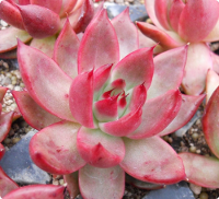 Echeveria 'Lady's Choice' - SMG Succulents