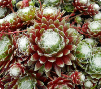Sempervivum 'Emberly Pink'