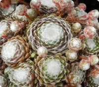 Sempervivum 'Emily'