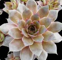 Sempervivum 'Fat Jack'