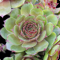 Sempervivum 'Fusiler'